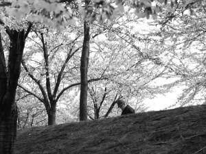 Niigata - Old man and sakura